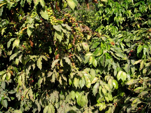 Coffee Beans Lake Atitlan Guatemala
