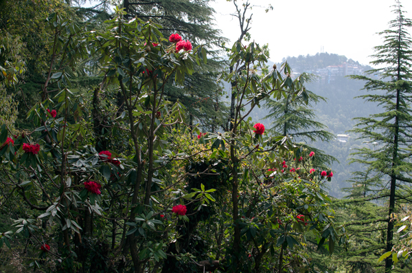 Rhododendron Trees - Running In Mcleod Ganj, India