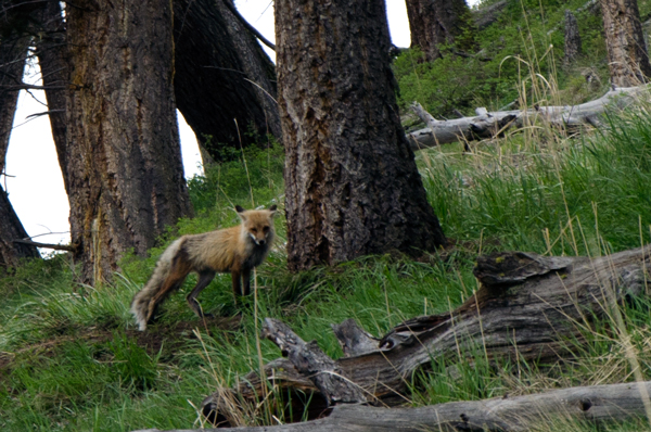 Fox Family - Driving Yellowstone National Park