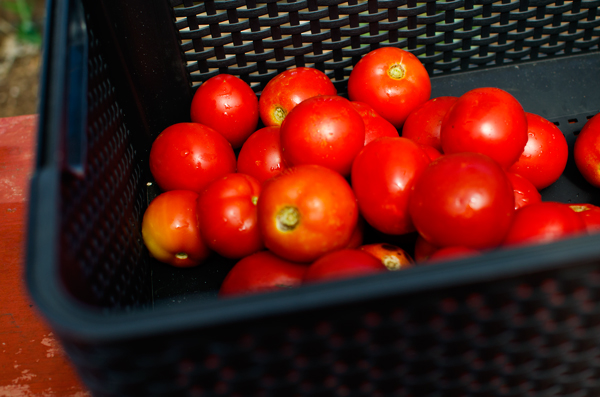 Tips for Canning Tomato Sauce - Perfect Red Tomatoes
