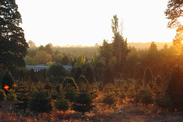 Donovan Christmas Tree Farm in Corvallis, Oregon