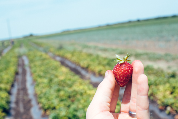 Picking strawberries at Eatwell Farm, Dixon, California