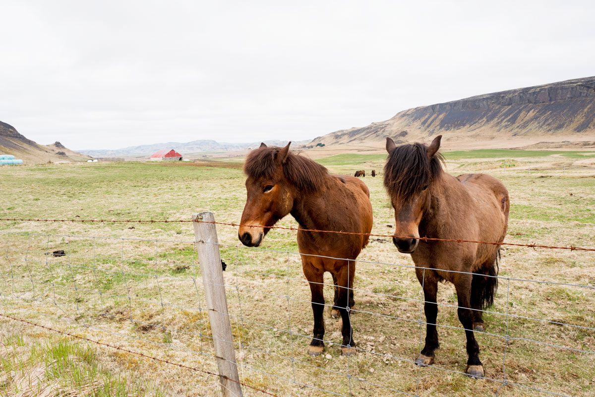 Iceland Ponies - Where to Find Wild Horses in Iceland