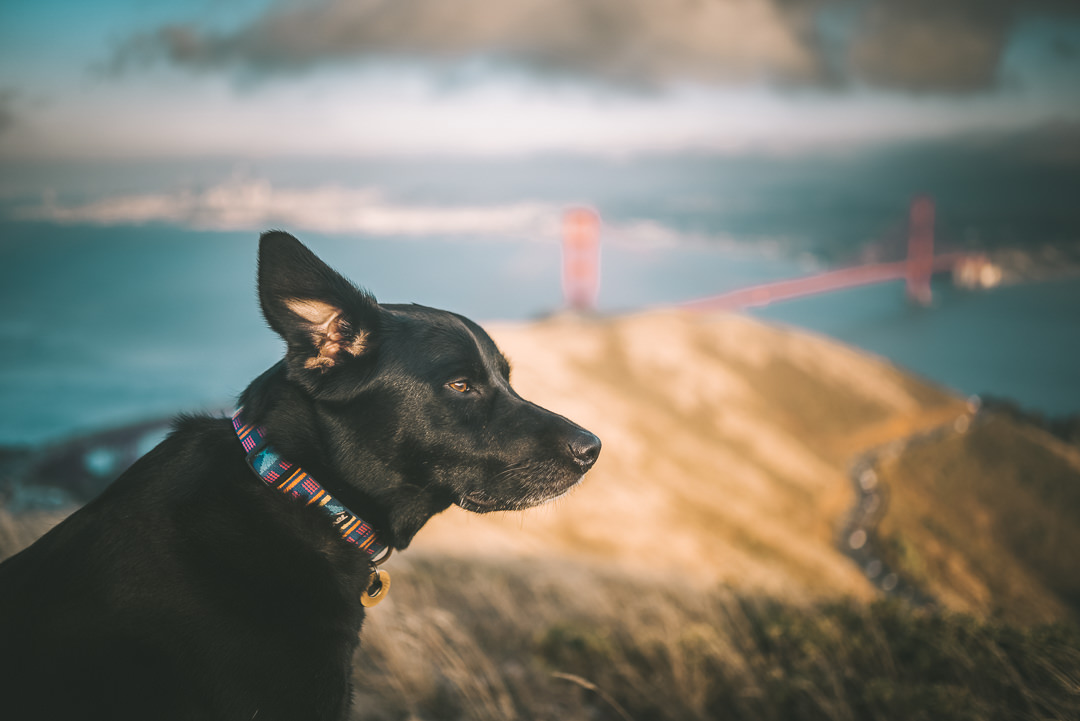 Black Lab San Francisco California Golden Gate Bridge View
