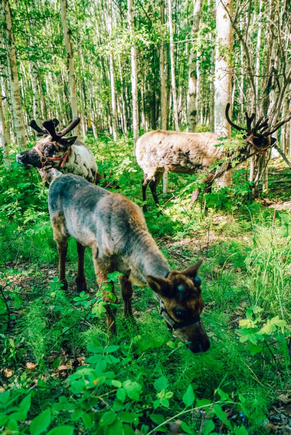 Running Reindeer Ranch - What to Do in Fairbanks Alaska