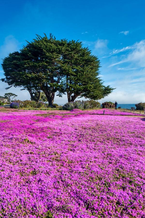 Pacific Grove Purple Ice Plants Superbloom